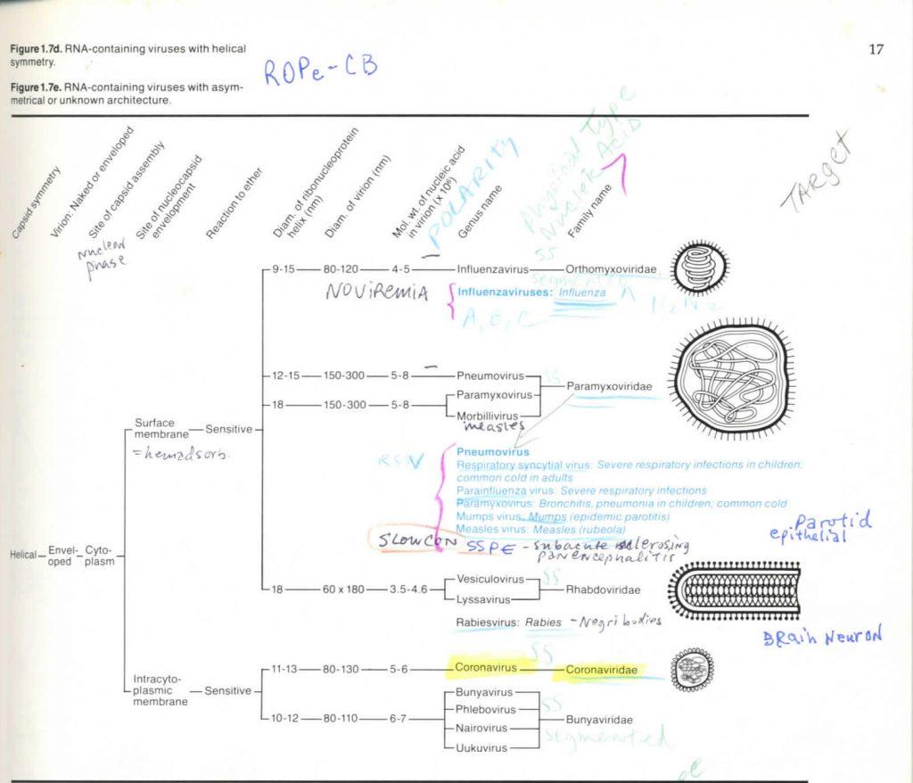 :Virology Coronavirus 1983:17 Virology Coronavirus 1983  table RNA.jpg